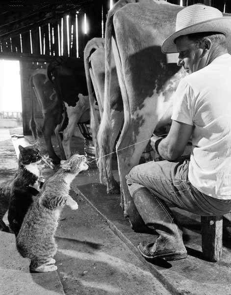 CAT GETS MILK FROM COW