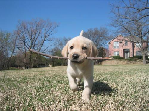 puppy with stick